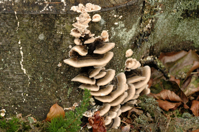 Image of Late fall polypore