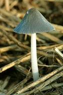 Image of Gray shag