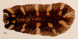 Image of Dendrocoelidae