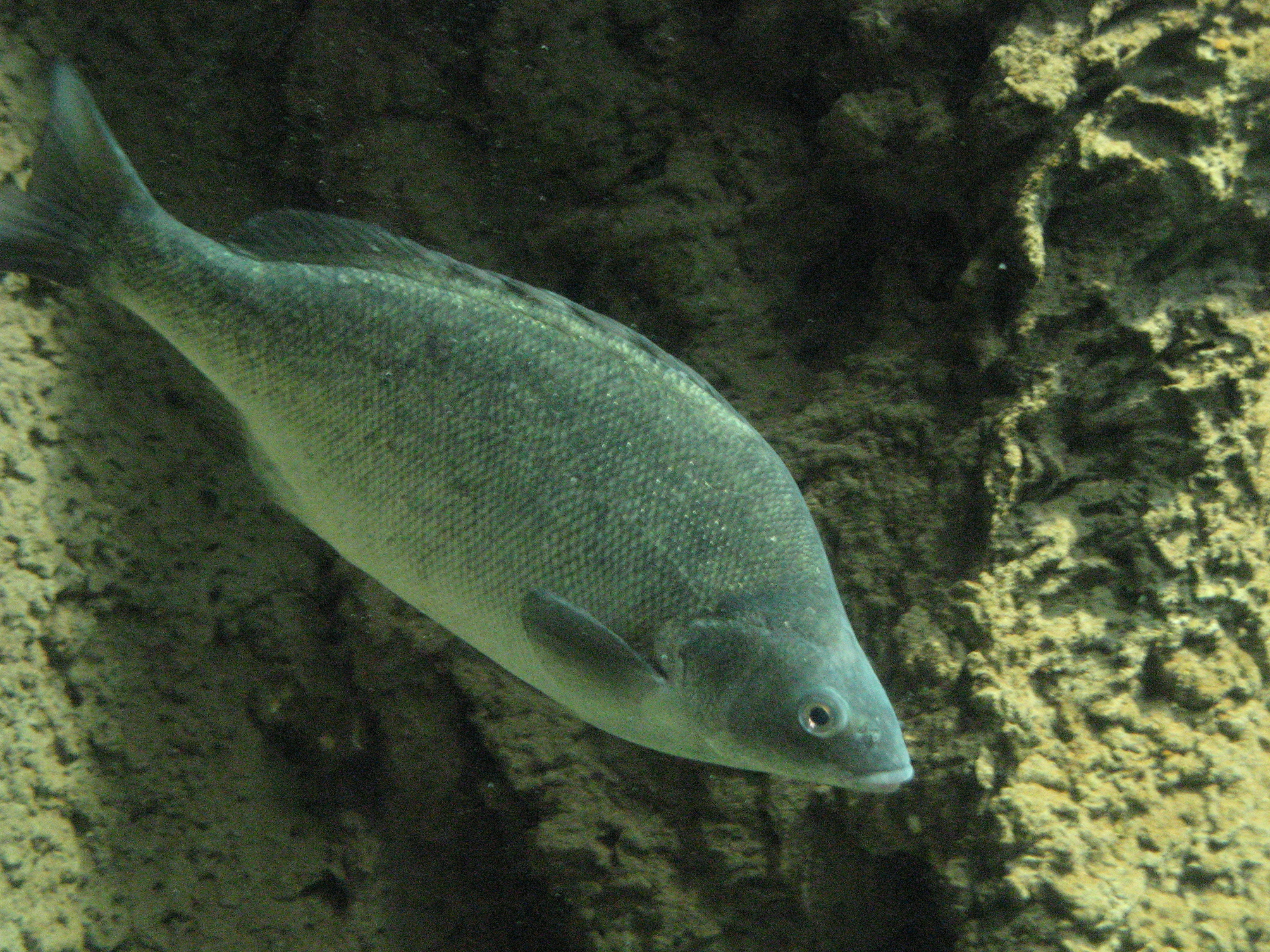 Image of Silver Perch