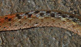 Image of Red-necked Keelback