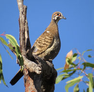 Image of Squatter Pigeon