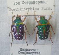 Image of Stephanorrhina