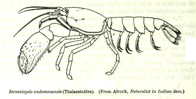 Image of <i>Eiconaxius andamanensis</i> (Alcock 1901)