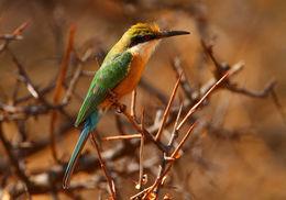 Image of Somali Bee-eater