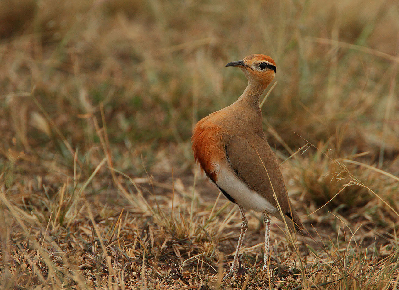 Image of Temminck's Courser