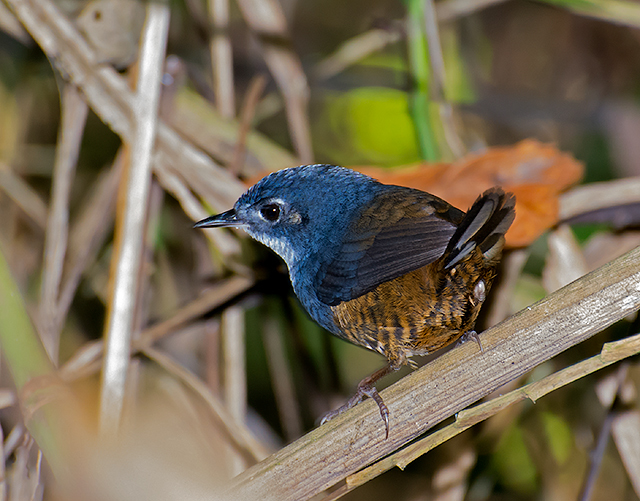 Image of White-breasted Tapaculo