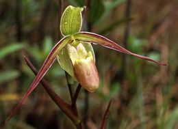 Image of Long-Leaf Phragmipedium