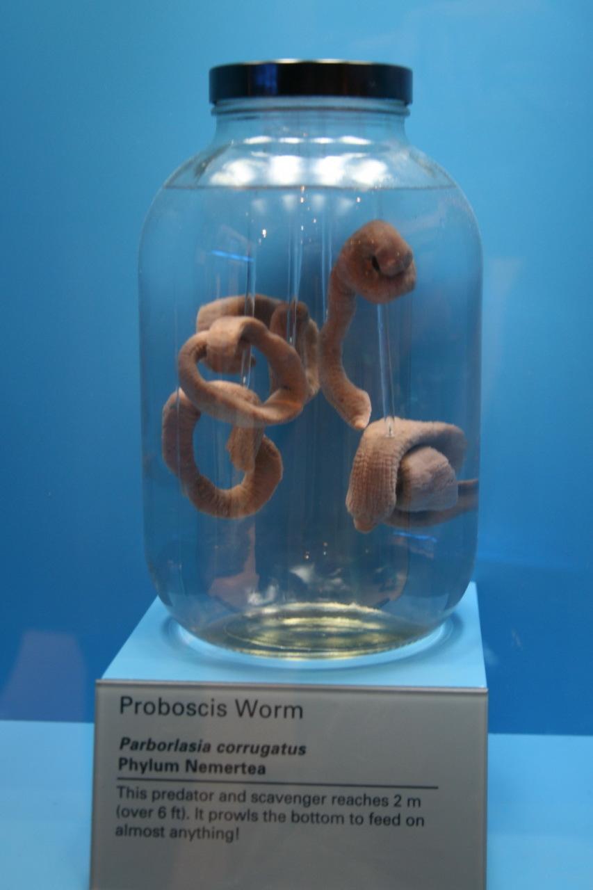 Image of <i>Parborlasia corrugatus</i>