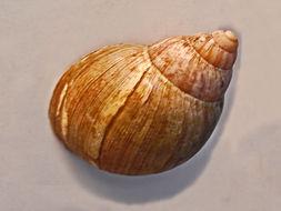 Image of <i>Achatina glutinosa</i>