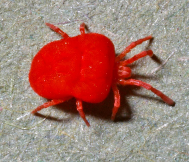 Image of <i>Neotrombicula autumnalis</i> (Shaw 1790) Shaw 1790