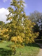 Image of Black birch