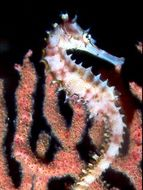 Image of Spiny Seahorse