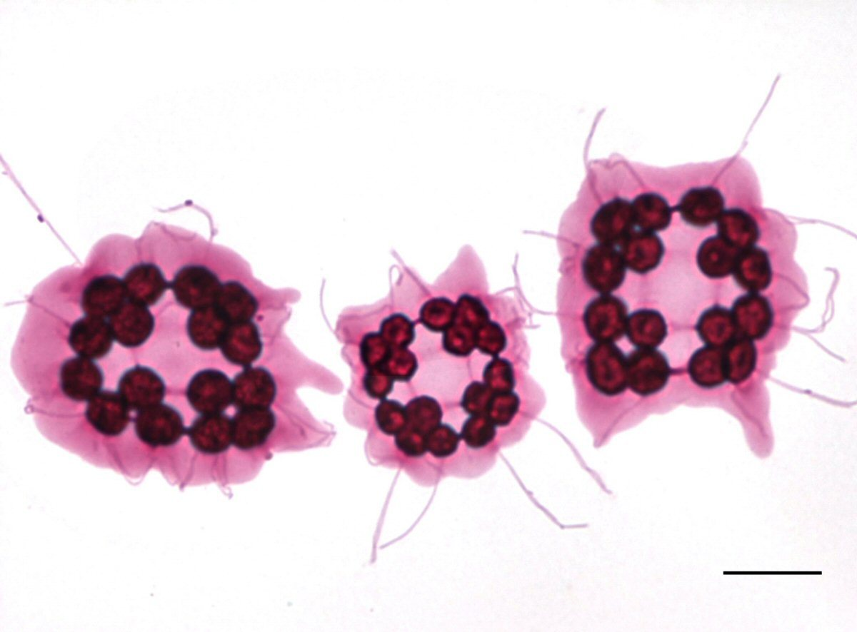 Image of Platydorina