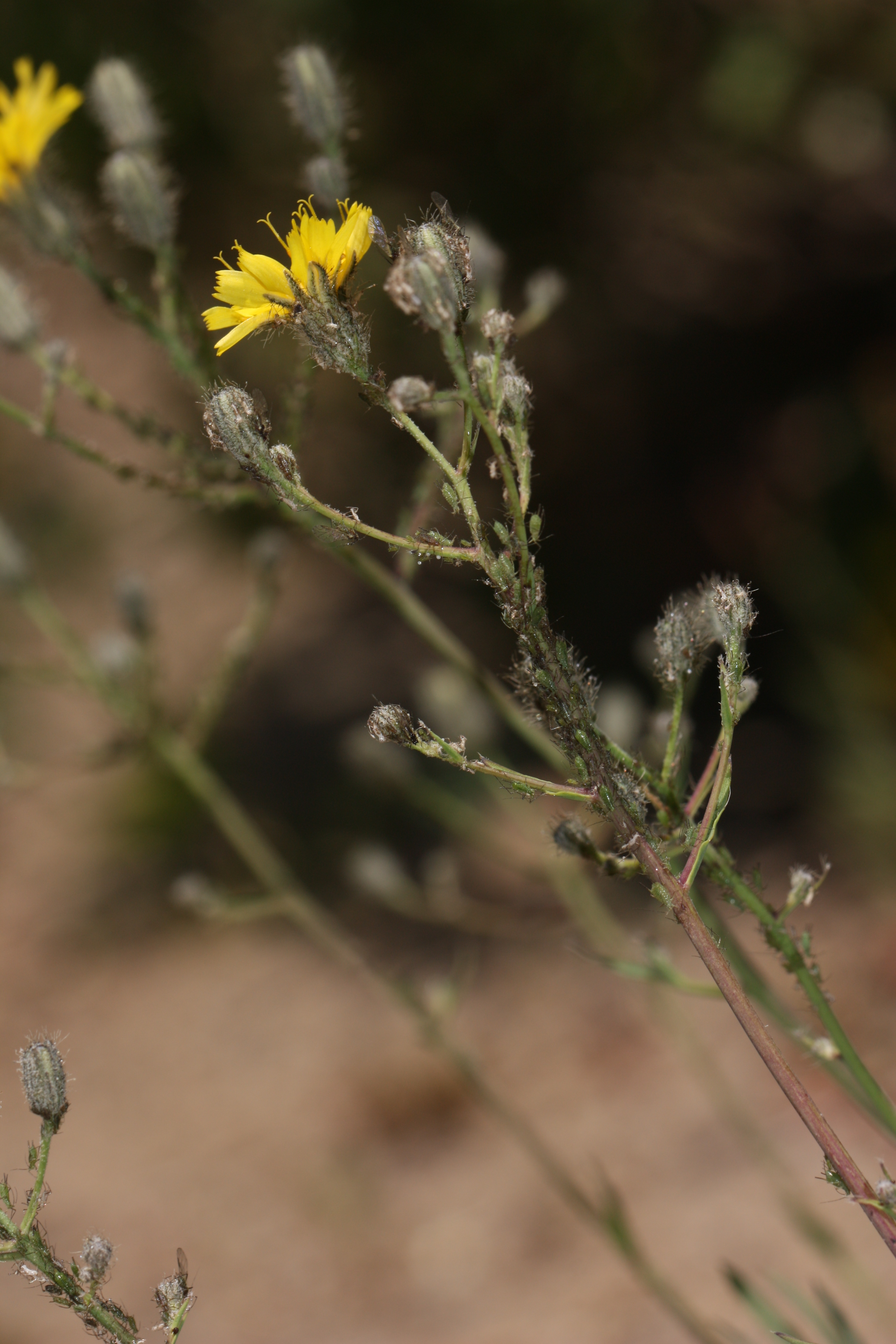 Image of Scouler's woollyweed