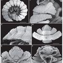Image of Eutrichodesmus