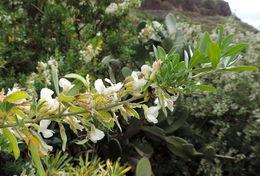 Image of False tree luecerne