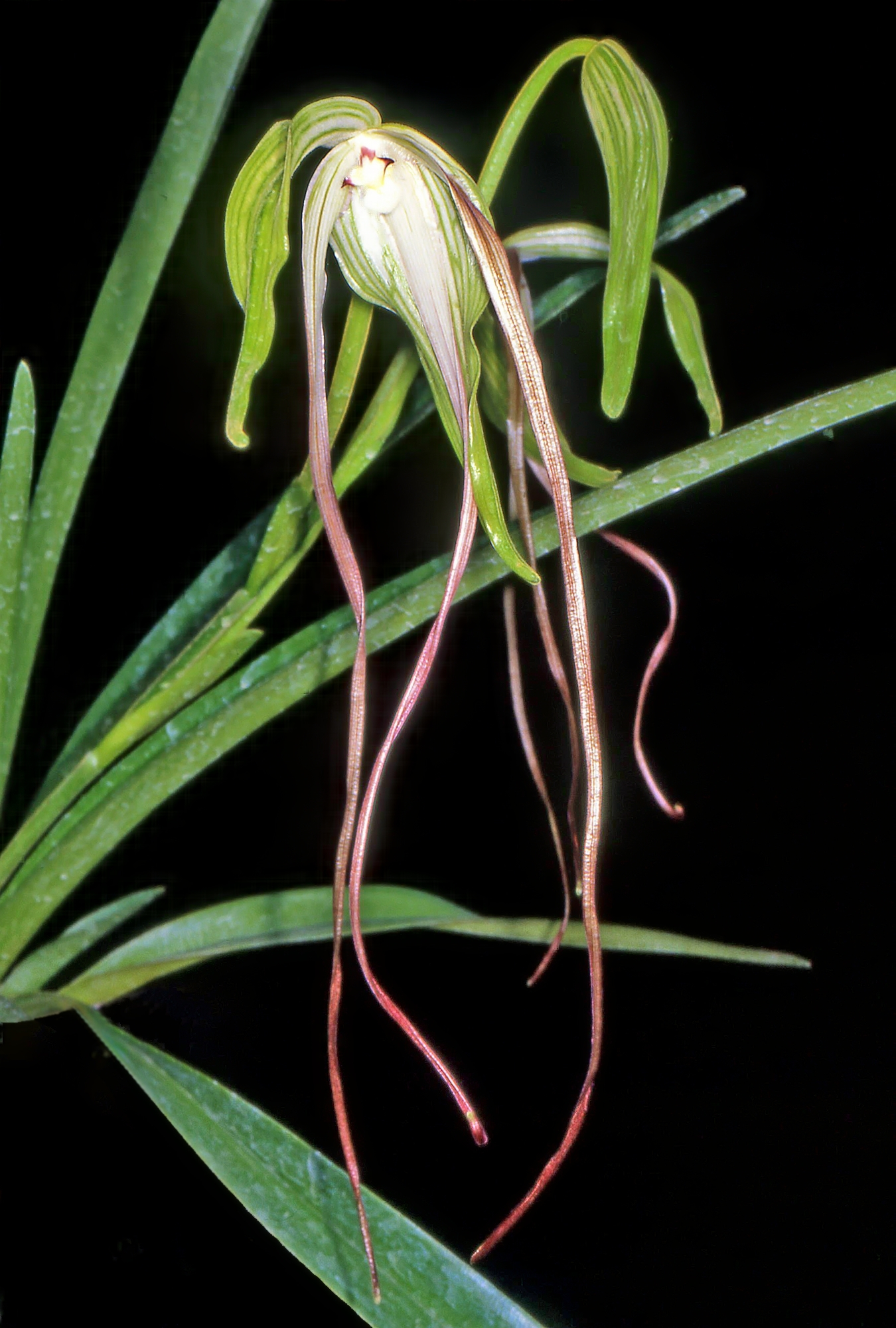 Image of <i>Phragmipedium lindenii</i> (Lindl.) Dressler & N. H. Williams