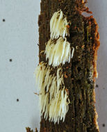 Image of <i>Mucronella bresadolae</i> (Quél.) Corner 1970