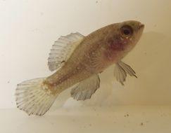 Image of Everglades Pygmy Sunfish