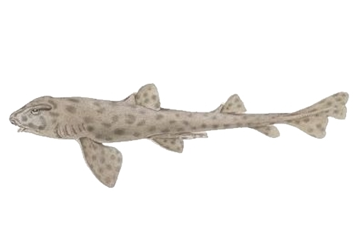 Image of Galapagos Bullhead Shark