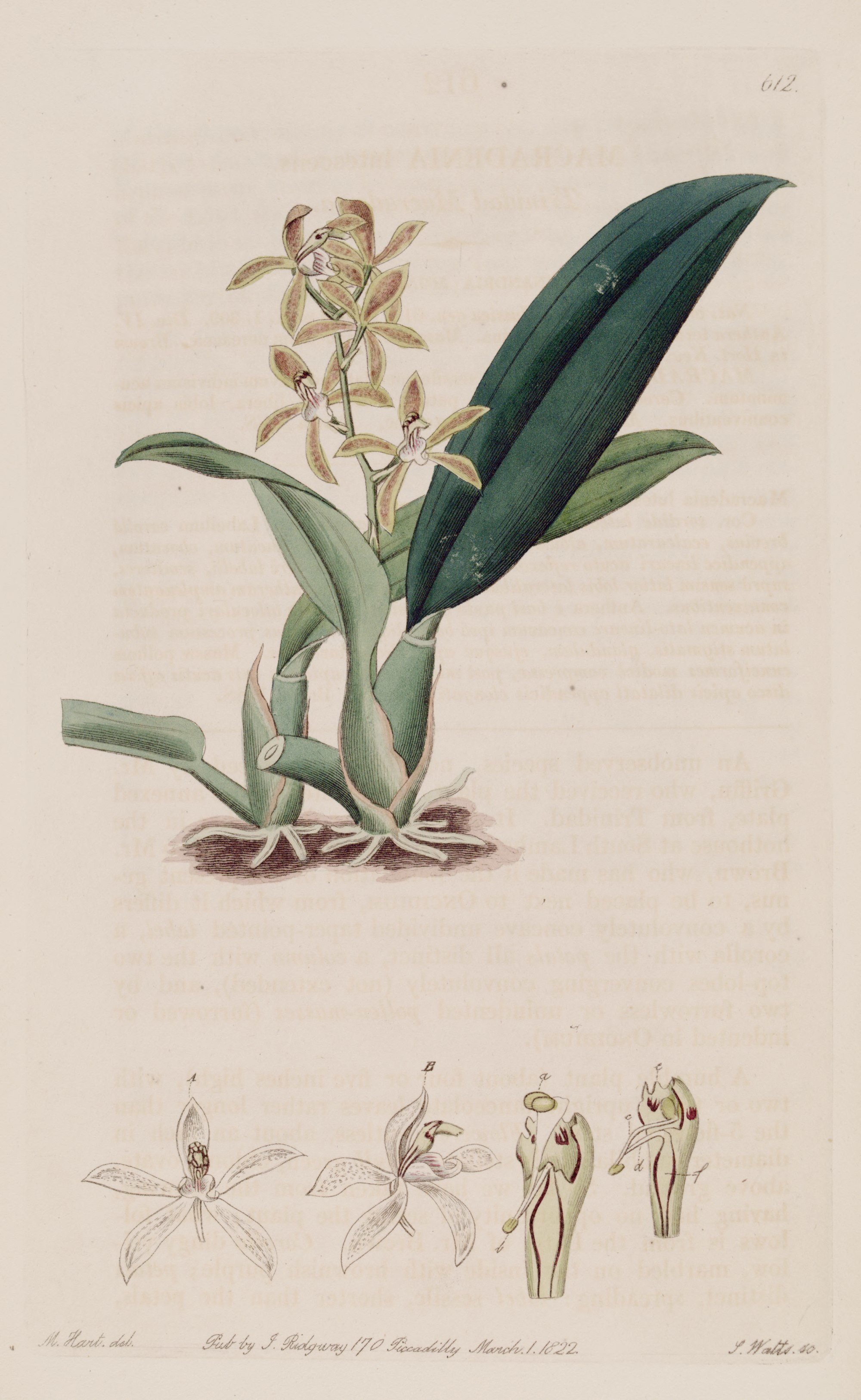 Image of Longgland orchid