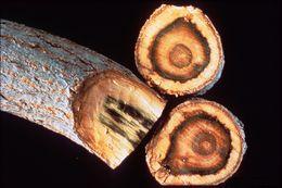 Image of Verticillium