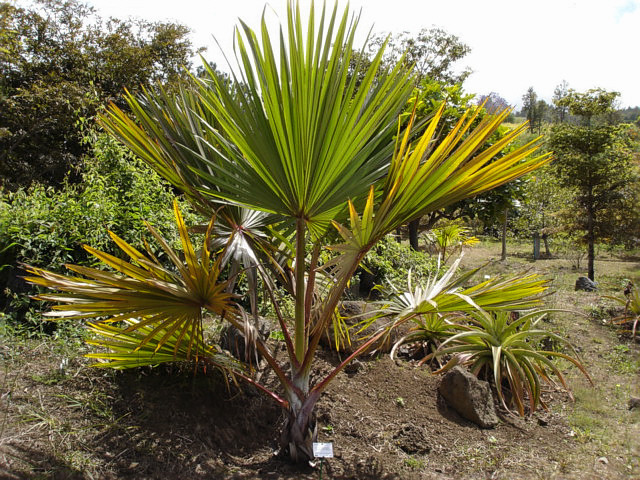 Image of Red latan palm