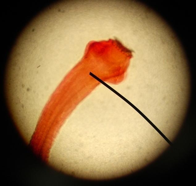 Image of <i>Taenia pisiformis</i> (Bloch 1780) Bloch 1780