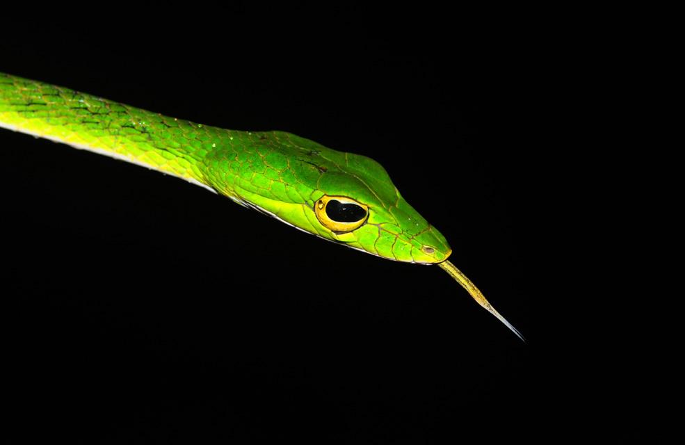 Image of Malayan Vine Snake