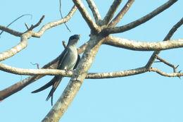Image of Gray-rumped Treeswift