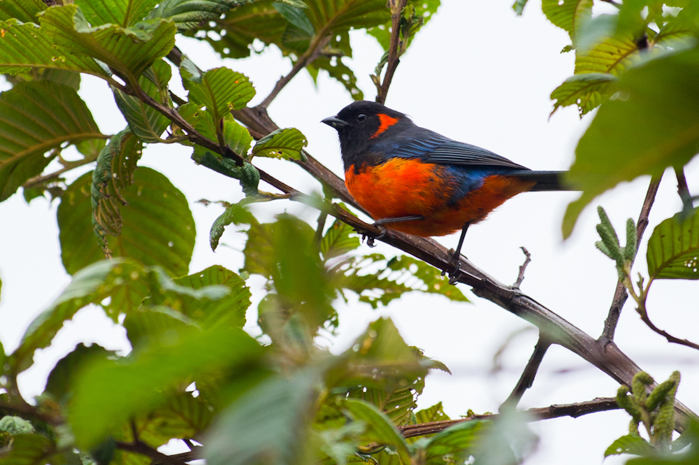 Image of Scarlet-bellied Mountain-Tanager