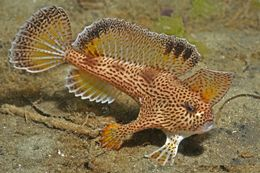 Image of Spotted Handfish