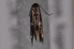 Image of Elachista