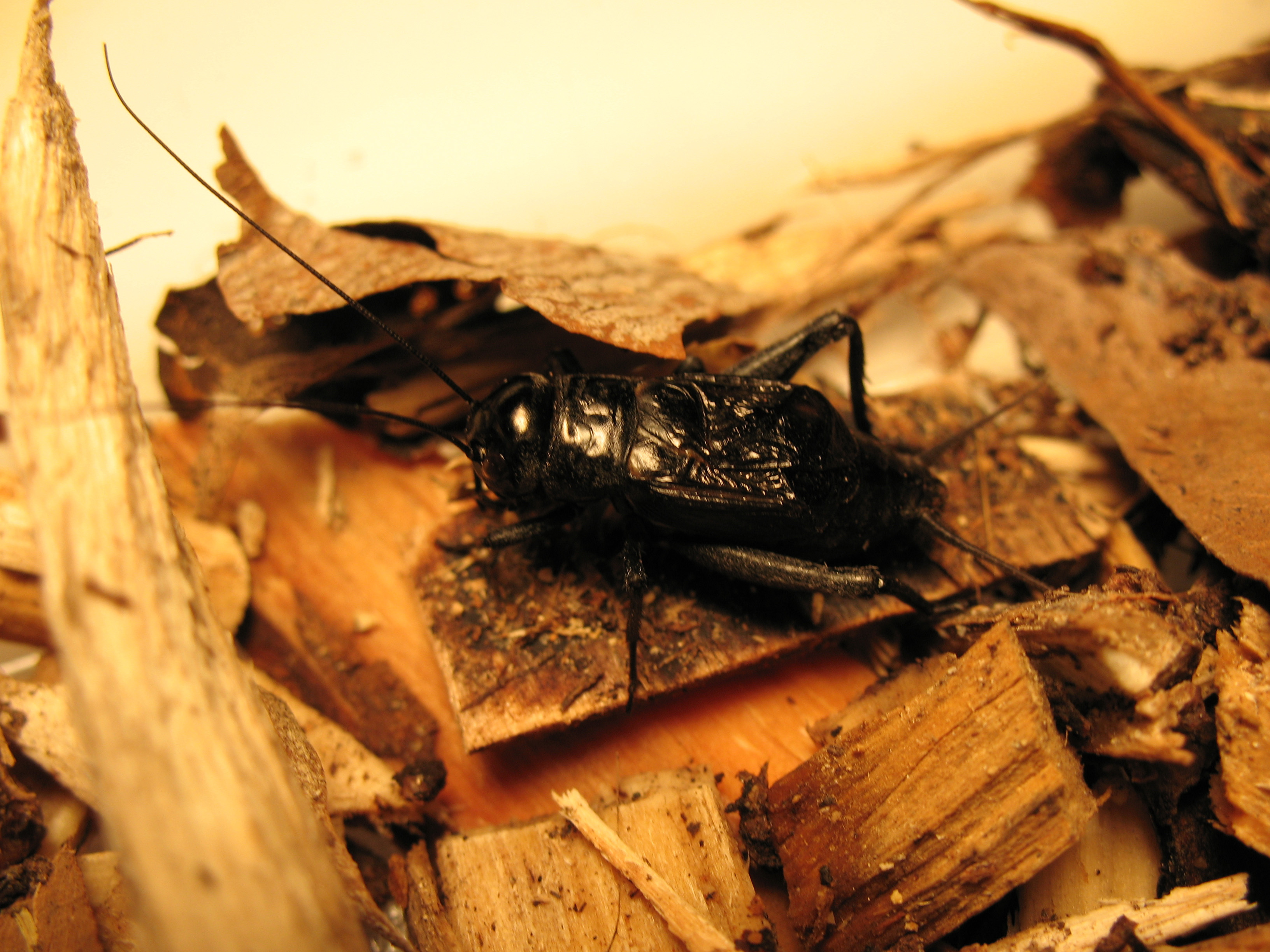 Image of Fall Field Cricket
