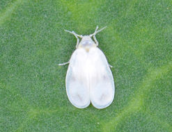 Image of Cabbage whitefly