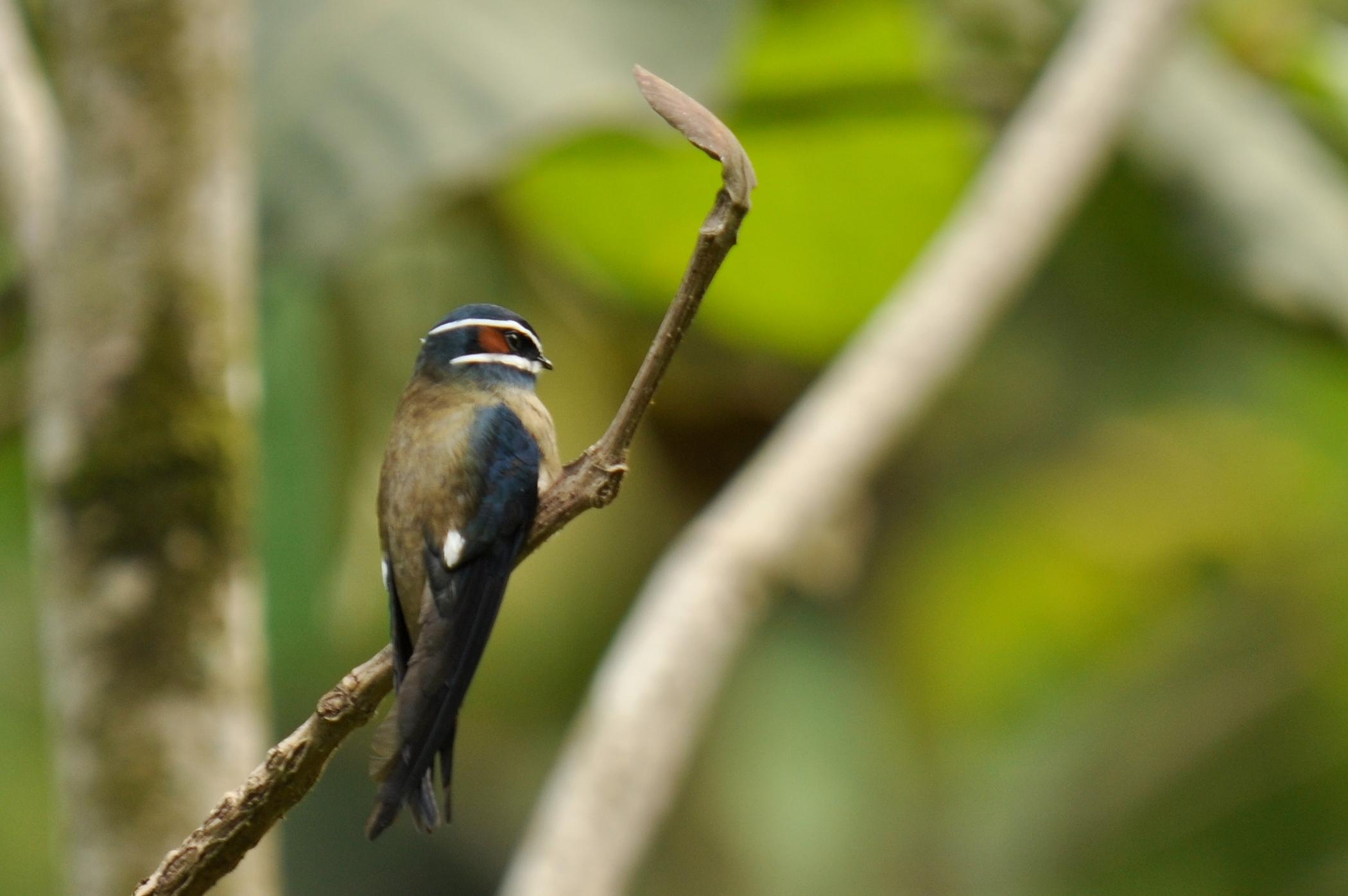 Image of Whiskered Treeswift