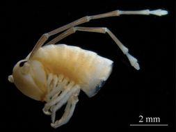 Image of Sinocallipus