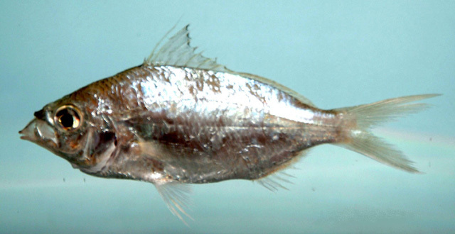 Image of Eucinostomus