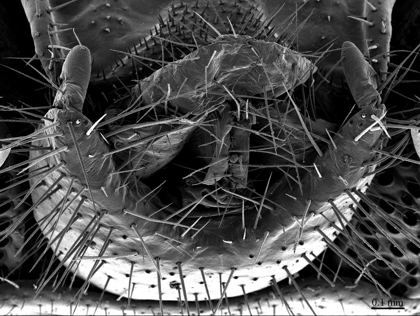 Image of <i>Eupolybothrus cavernicolus</i>
