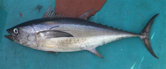 Image of Longtail Tuna