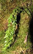 Image of Tmesipteris