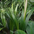 Image of <i>Sommieria leucophylla</i> Becc.