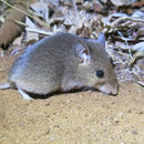 Image of Pouched Mouse