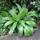 Image of <i>Hymenocallis eucharidifolia</i> Baker