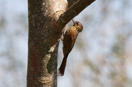 Image of Wedge-billed Woodcreeper