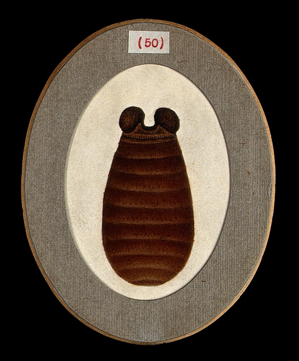 Image of tsetse flies