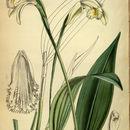 Image of <i>Sobralia fragrans</i> Lindl.