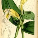 Image of <i>Sobralia macrophylla</i> Rchb. fil.