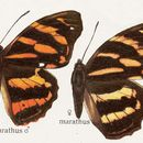 Image of <i>Herona marathus</i> Doubleday (1848)